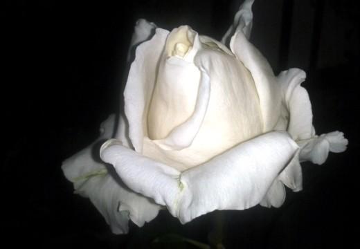 ¿Y si cultivas una rosa blanca? Por Elizabeth Santángelo.